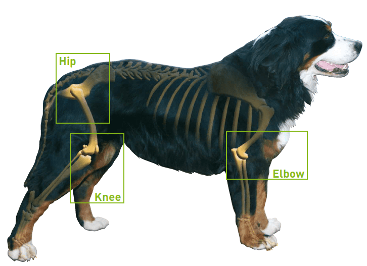 What To Give An Arthritic Dog